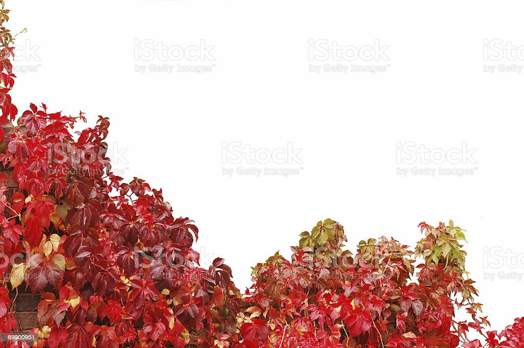 red ivy royalty-free stock photo