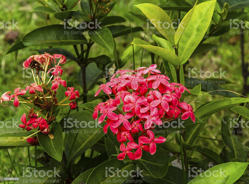 Red ixora flower royalty-free stock photo