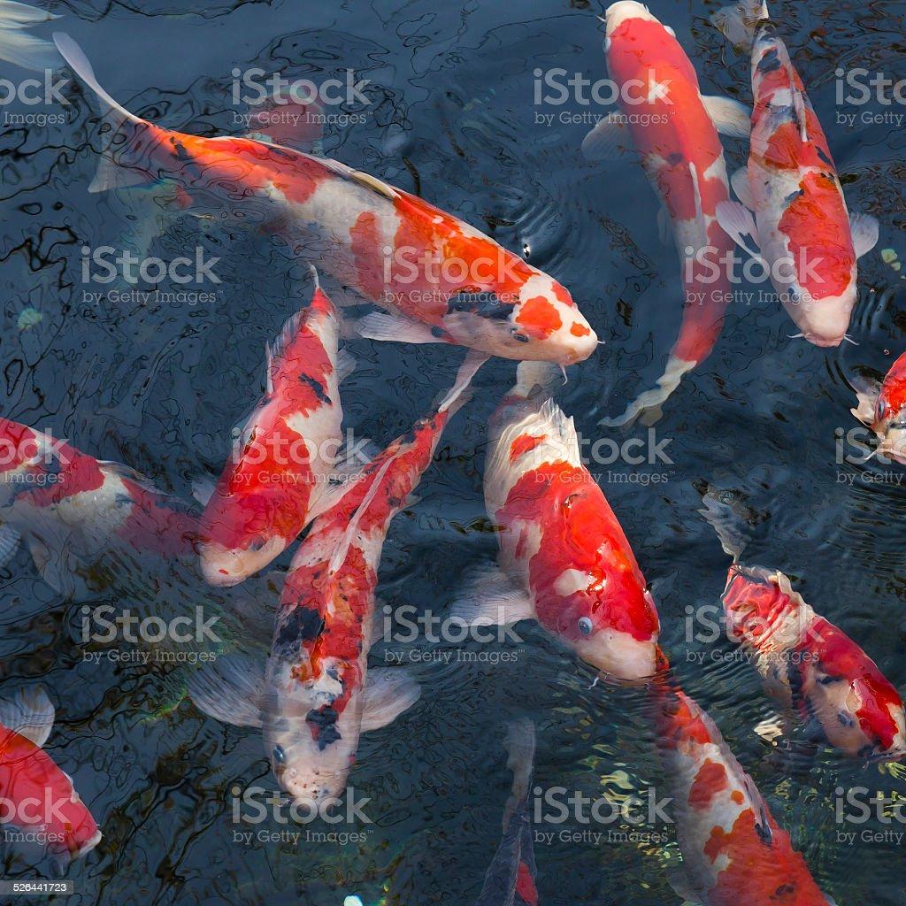 Red Japanese carp fish stock photo