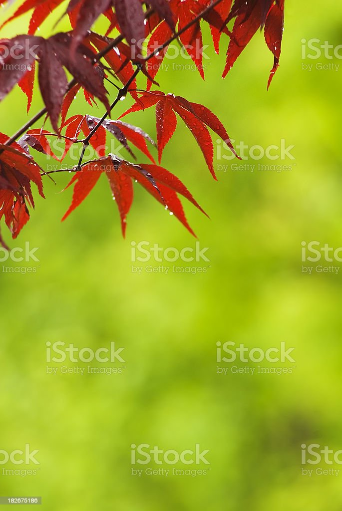 Red Japanese Maple after spring rain royalty-free stock photo