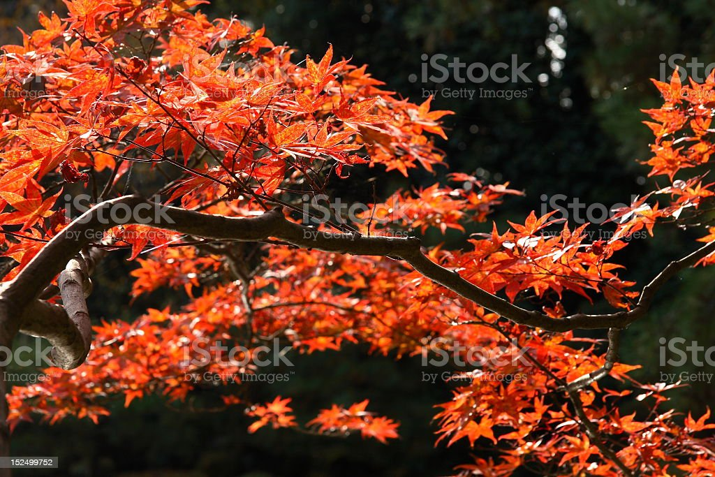 Red japanese maple in autumn royalty-free stock photo