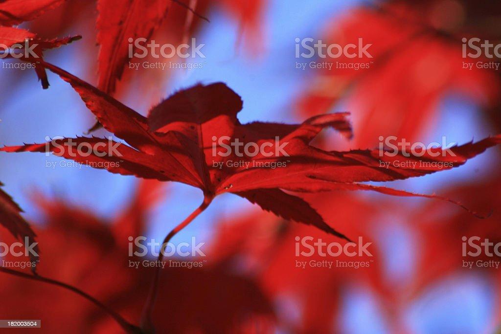 Rosso Foglia di acero giapponese foto stock royalty-free