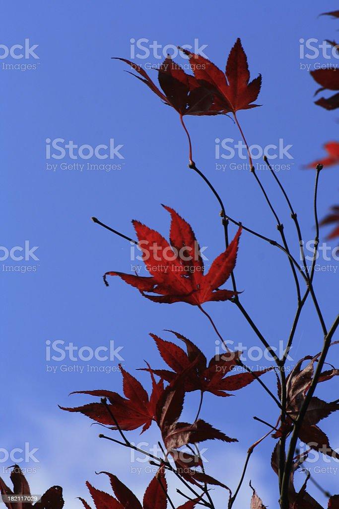 Foglie di acero giapponese rosso foto stock royalty-free