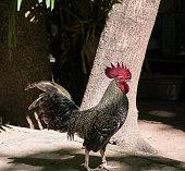 Red junglefawl, male chicken in Thailand