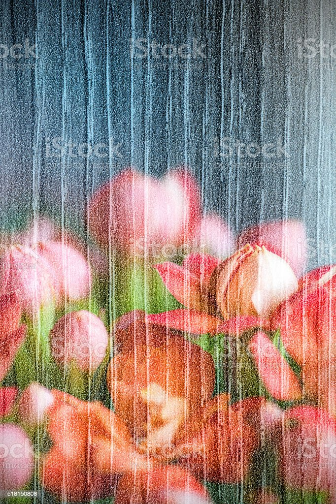 Red Kalanchoe flowers double exposure with wood texture in macro stock photo