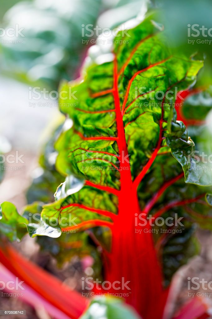 Red kale leaves stock photo