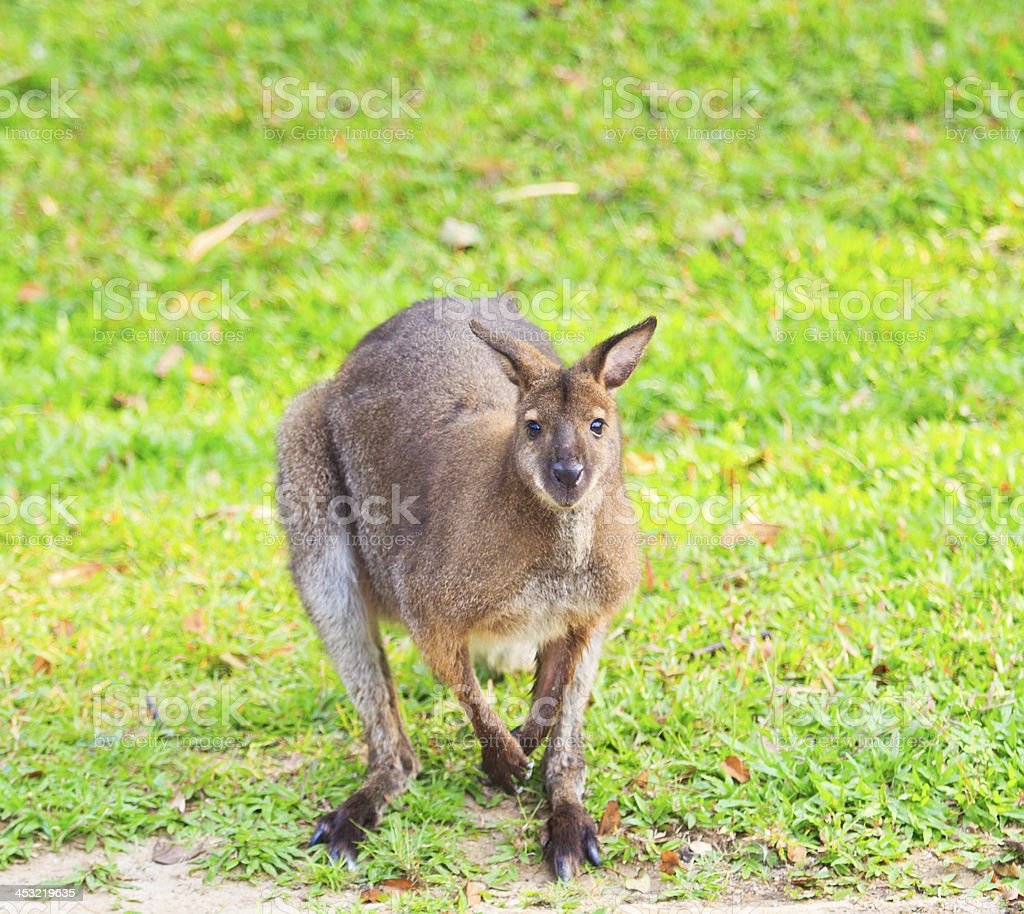 Red kangaroo and bennet's wallaby royalty-free stock photo