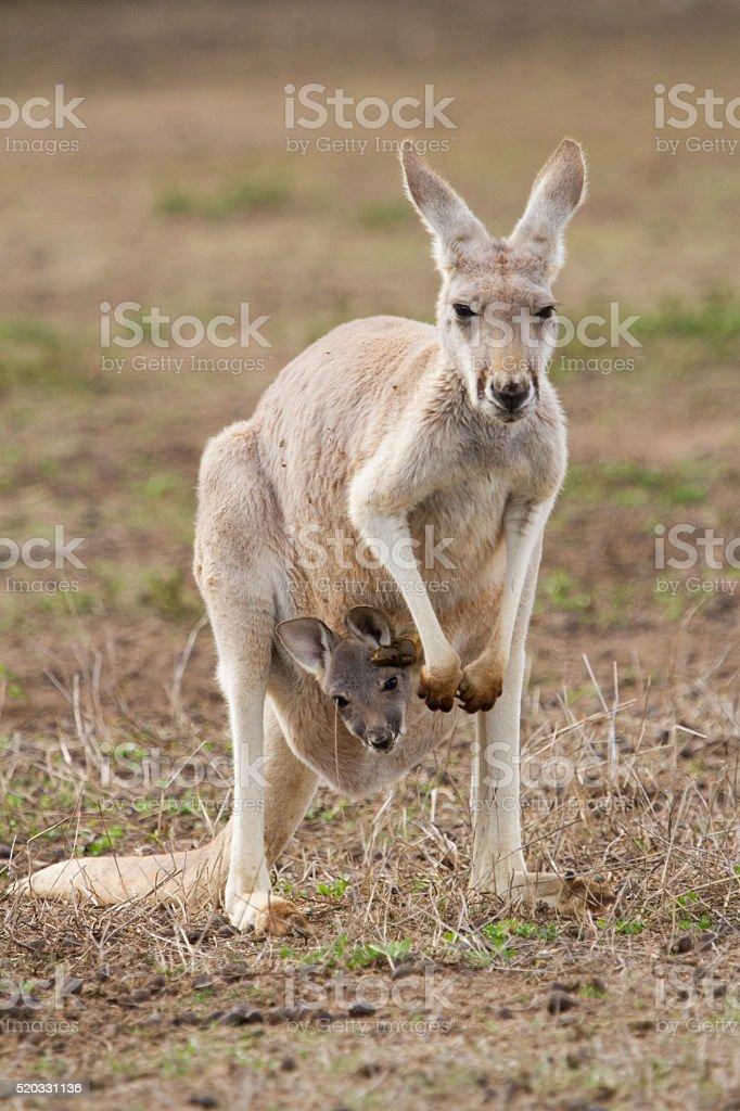 Red Kangaroo and Joey stock photo