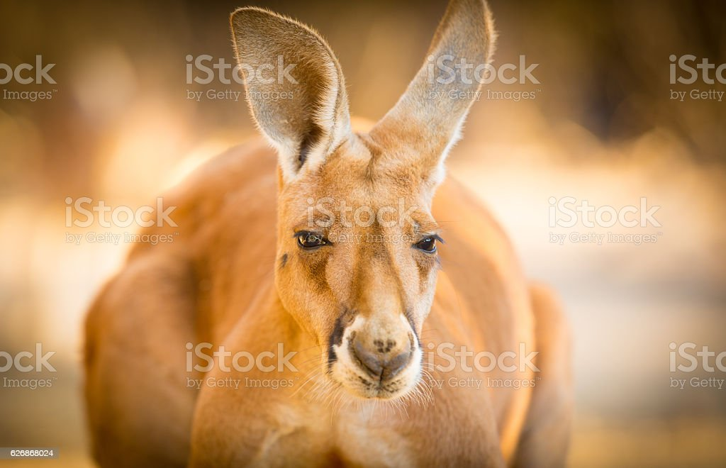 Red Kangaroo Australia stock photo