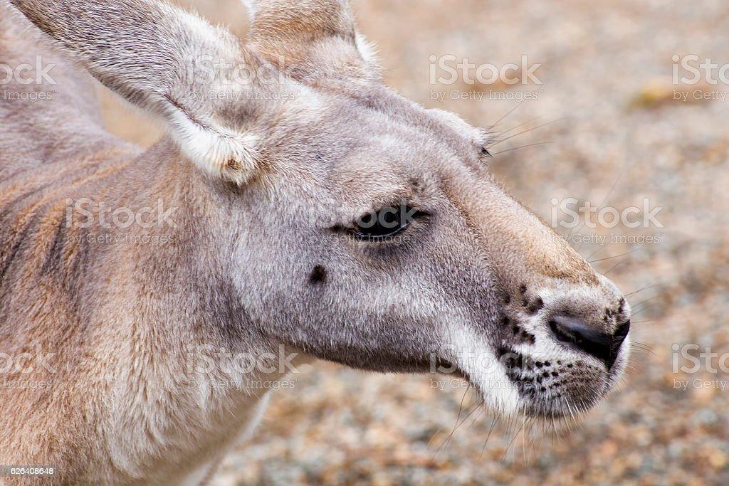 Red kangaroo closeup stock photo