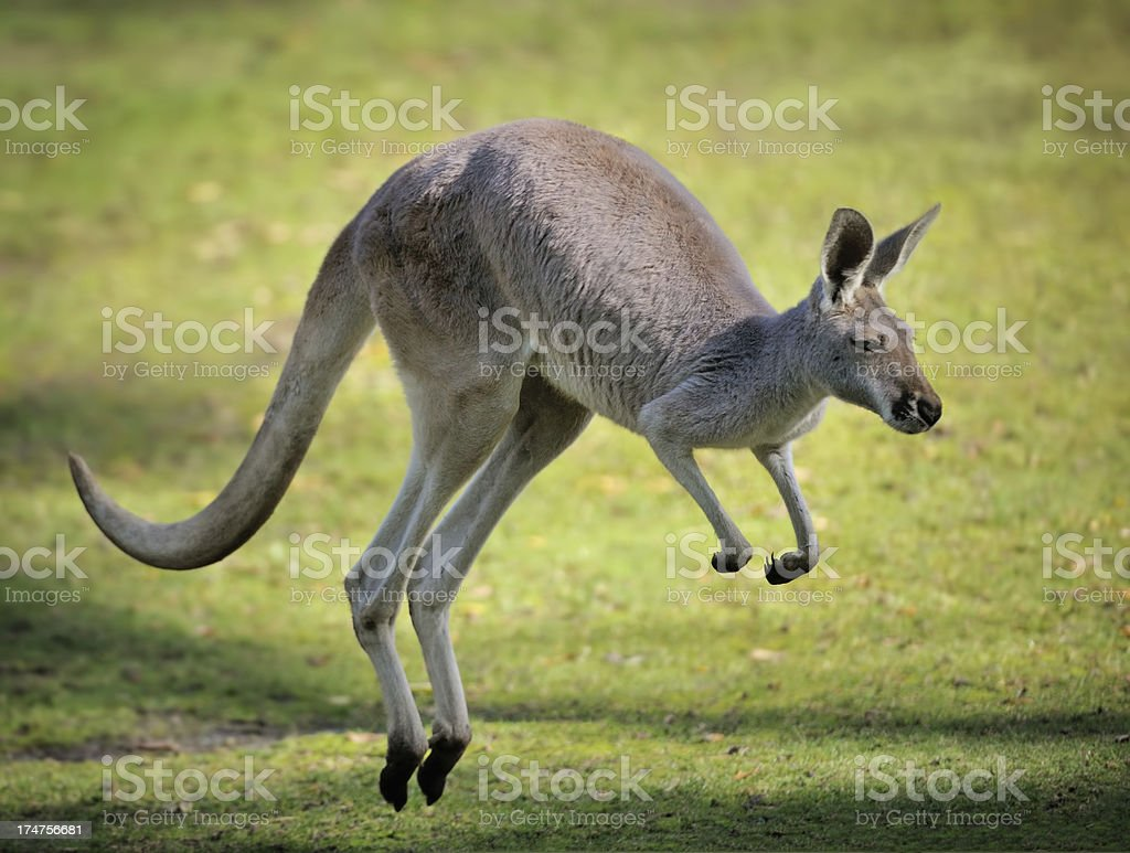 A red kangaroo hopping in the grass stock photo