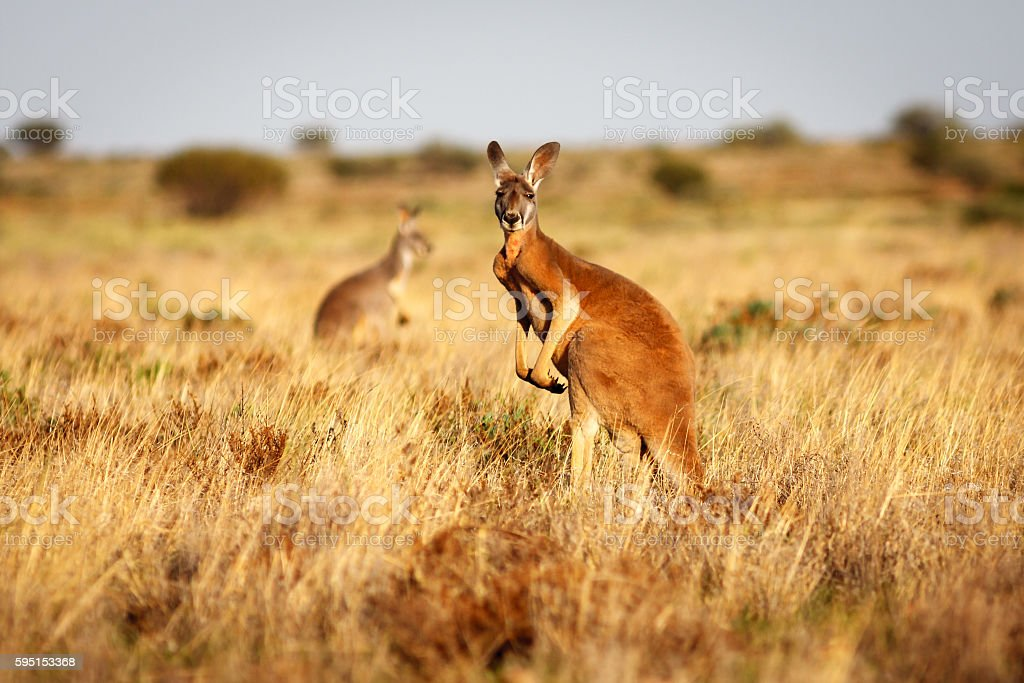 Red Kangaroo in grasslands in the Australian Outback stock photo