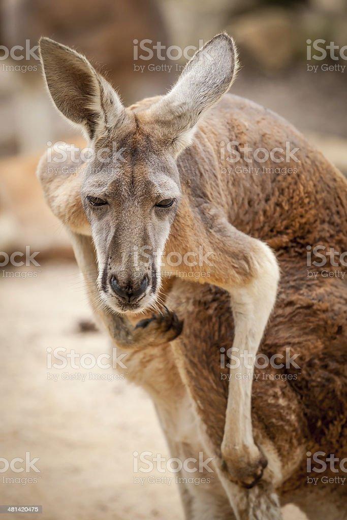 Red Kangaroo Looking at Camera and Scratching royalty-free stock photo
