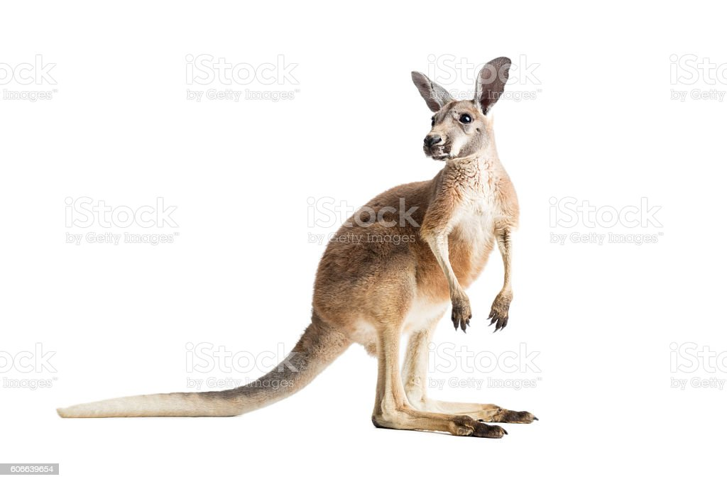 Red Kangaroo on White stock photo
