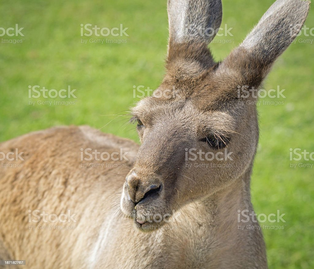 Red Kangaroo royalty-free stock photo