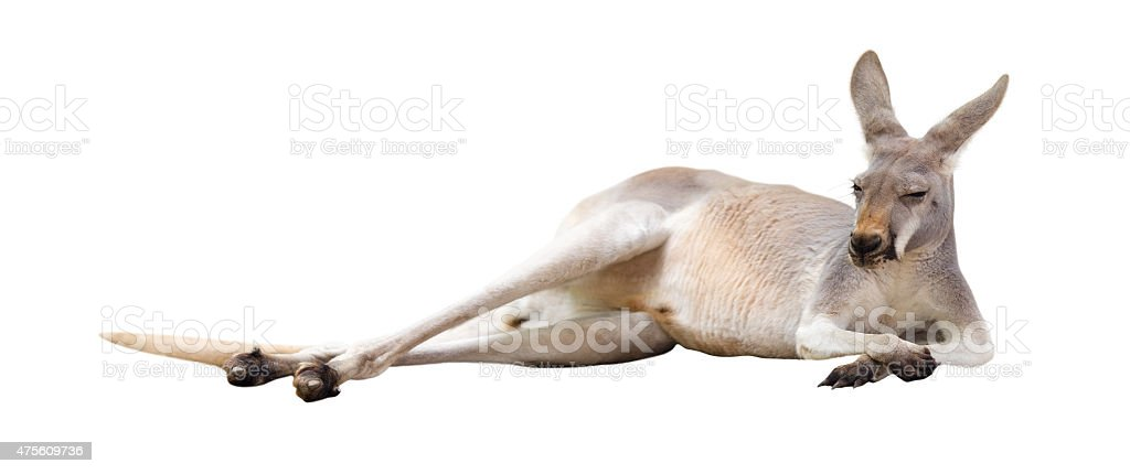 Red kangaroo. stock photo