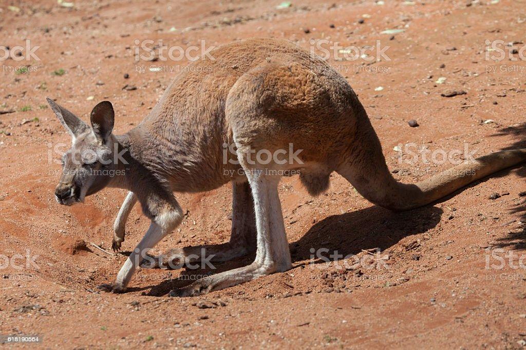Red kangaroo (Macropus rufus). stock photo