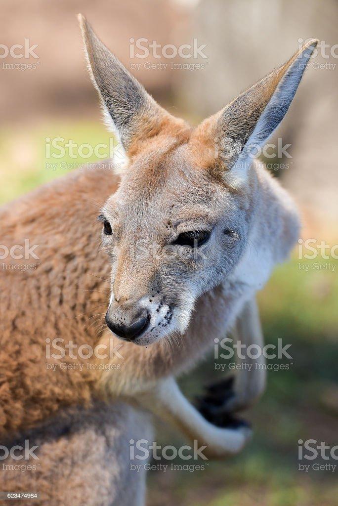 Red kangaroo stock photo