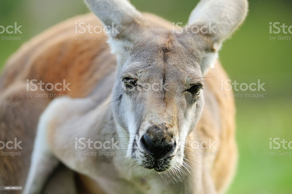 red kangaroo portrait stock photo