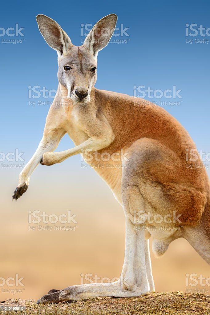 red kangaroo - ready for a fight stock photo
