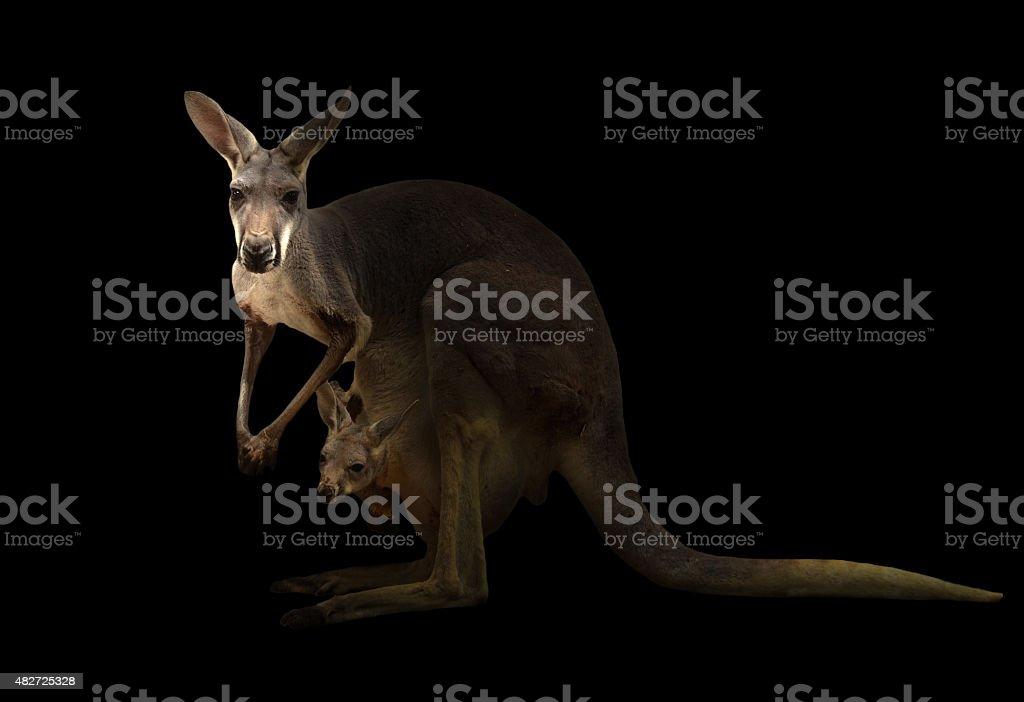 red kangaroo standing in the dark stock photo