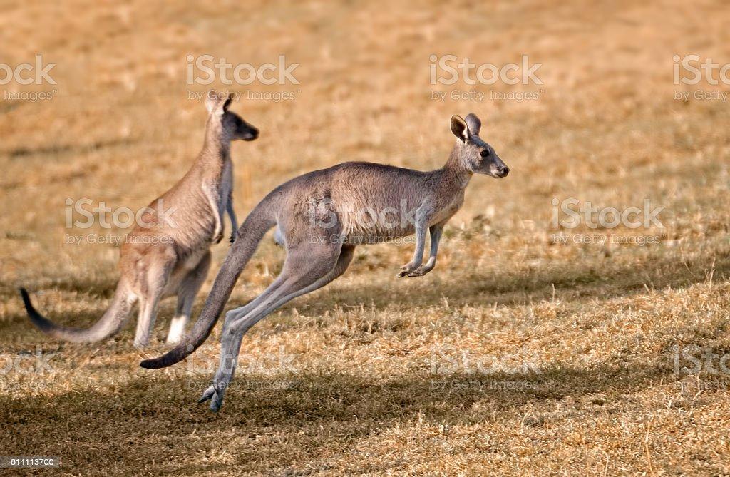 red kangaroos stock photo