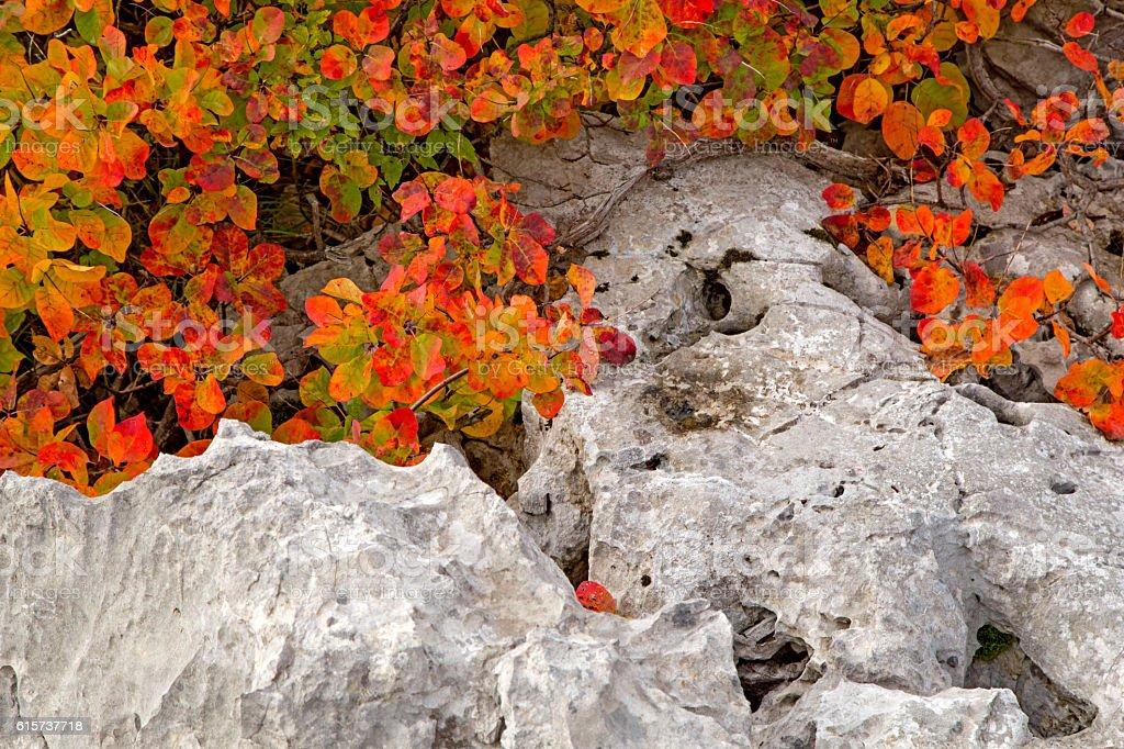 Red Karsian Smoketree on the rocks stock photo
