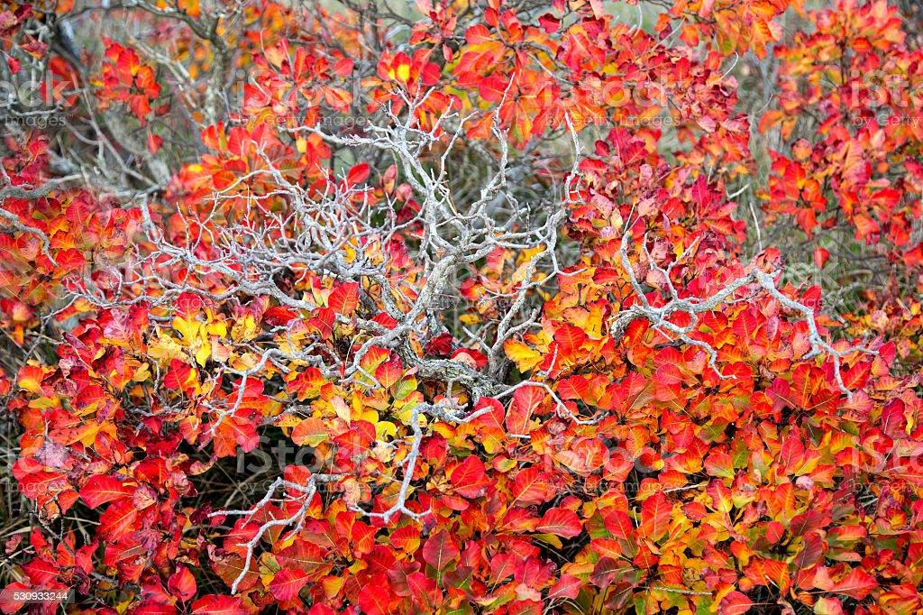 Red Karsian Smoketree stock photo