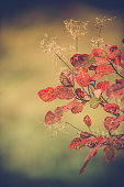 Red Karsian Smoketree