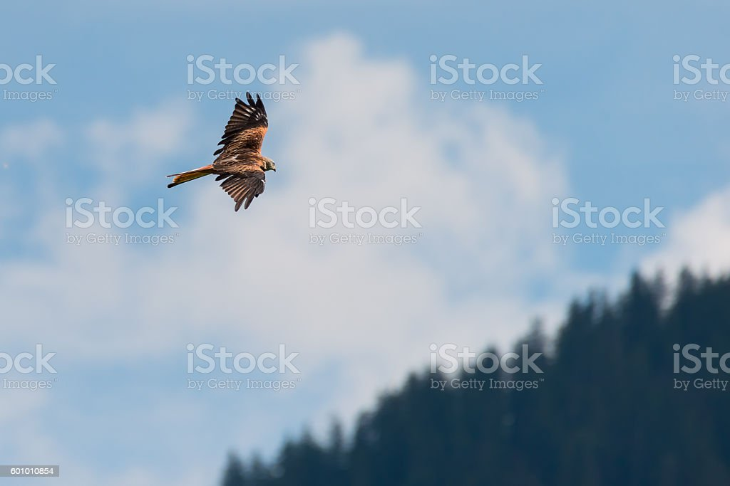 red kite bird flies hight above over forest and blue stock photo