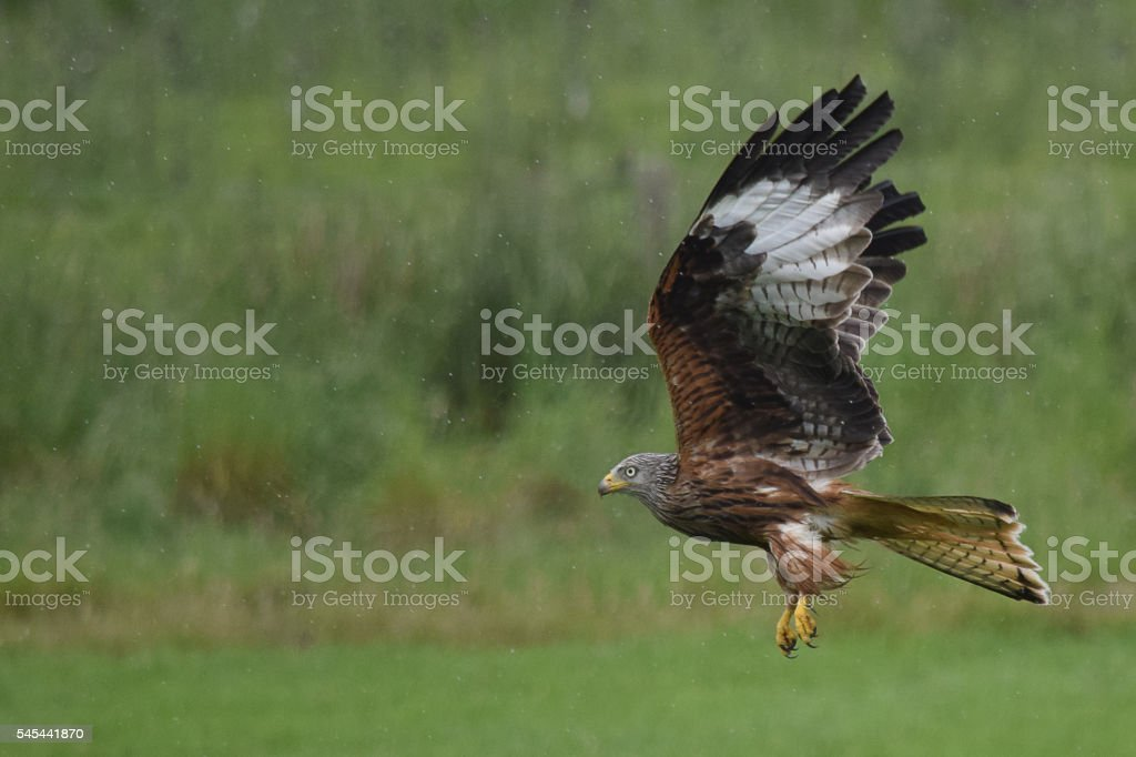 Red Kite Flying In The Rain stock photo
