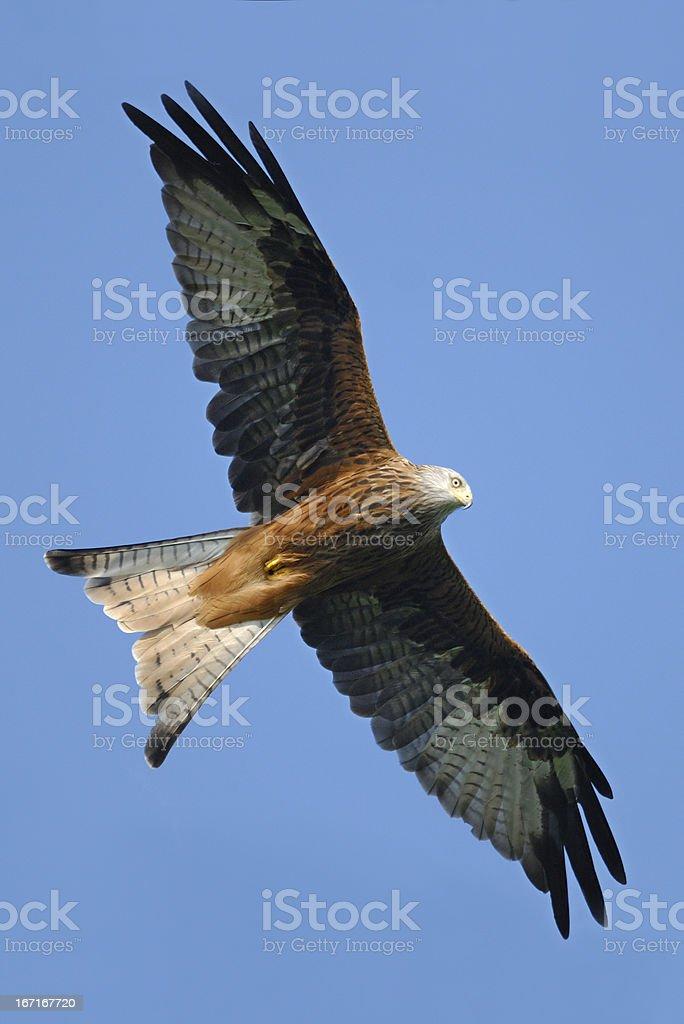 Red Kite (Milvus milvas) flying over the Brecon Beacons royalty-free stock photo
