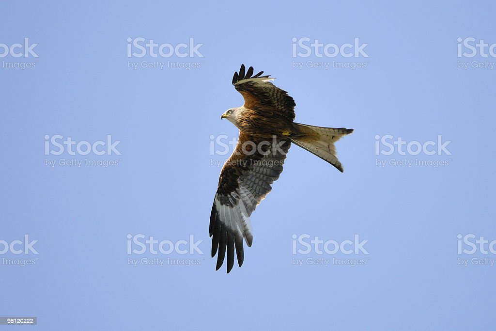Red Kite in flight royalty-free stock photo