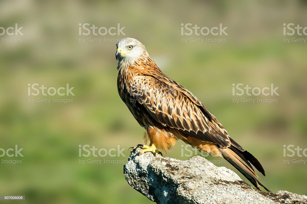 red kite, milvus milvus stock photo