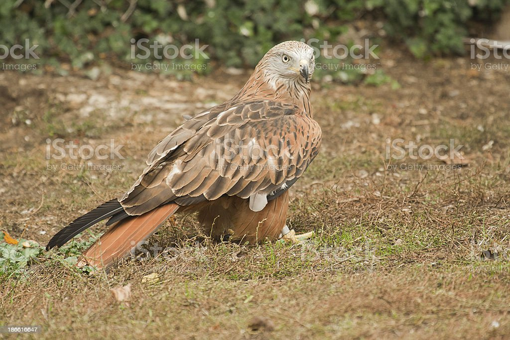 Red Kite perched on the ground stock photo
