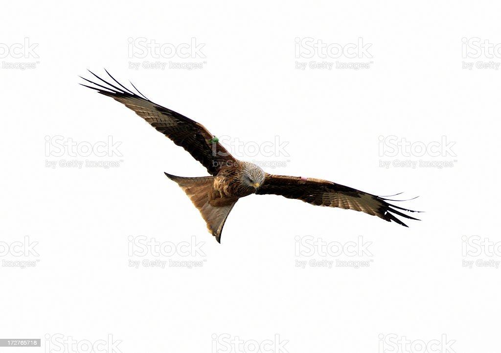Red Kite (Milvus-milvus) stock photo