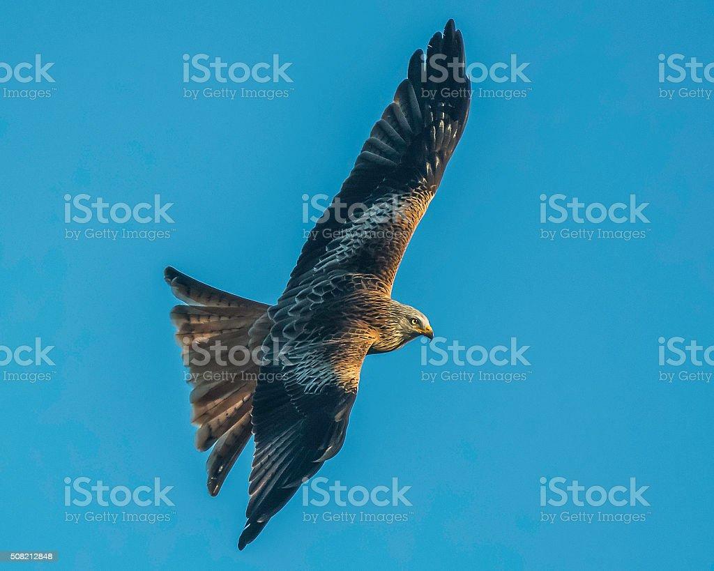 red kite stock photo
