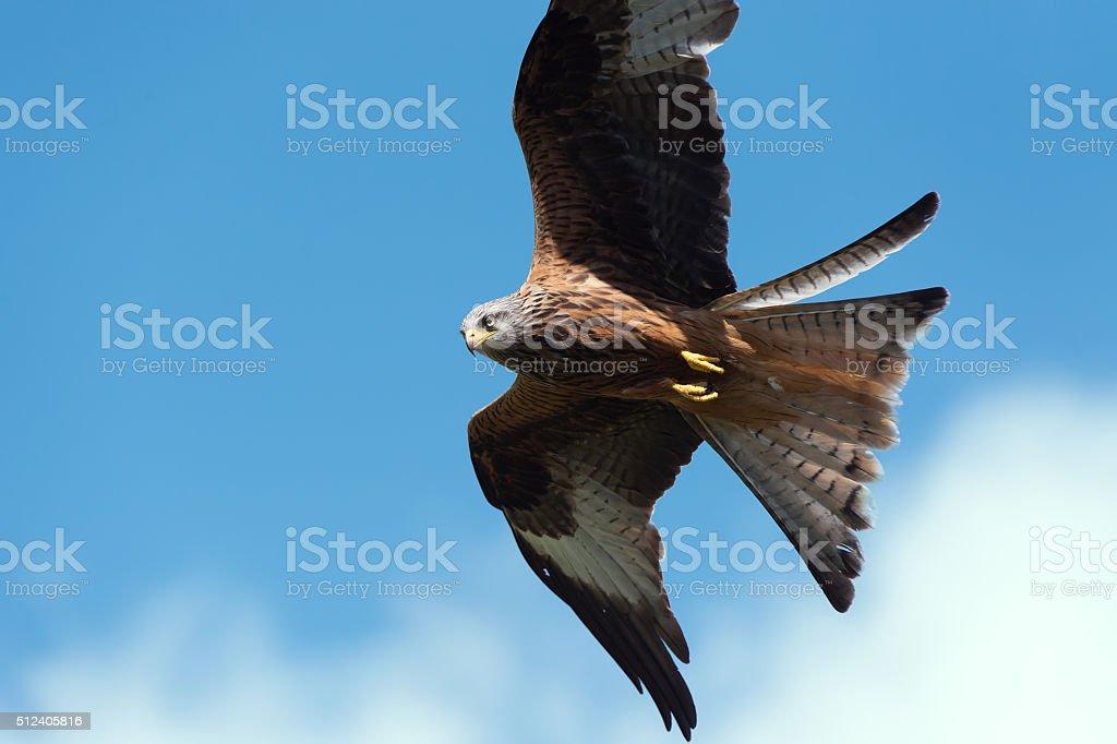 Red Kite (Milvus Milvus) stock photo