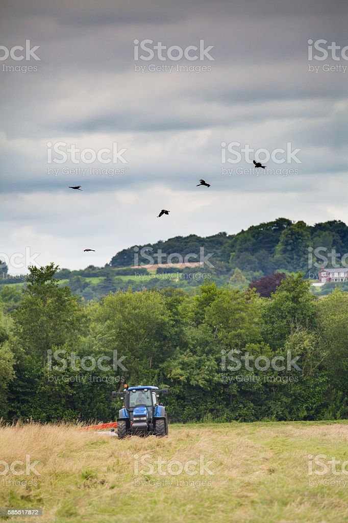 Red kites circling over a tractor cutting grass stock photo