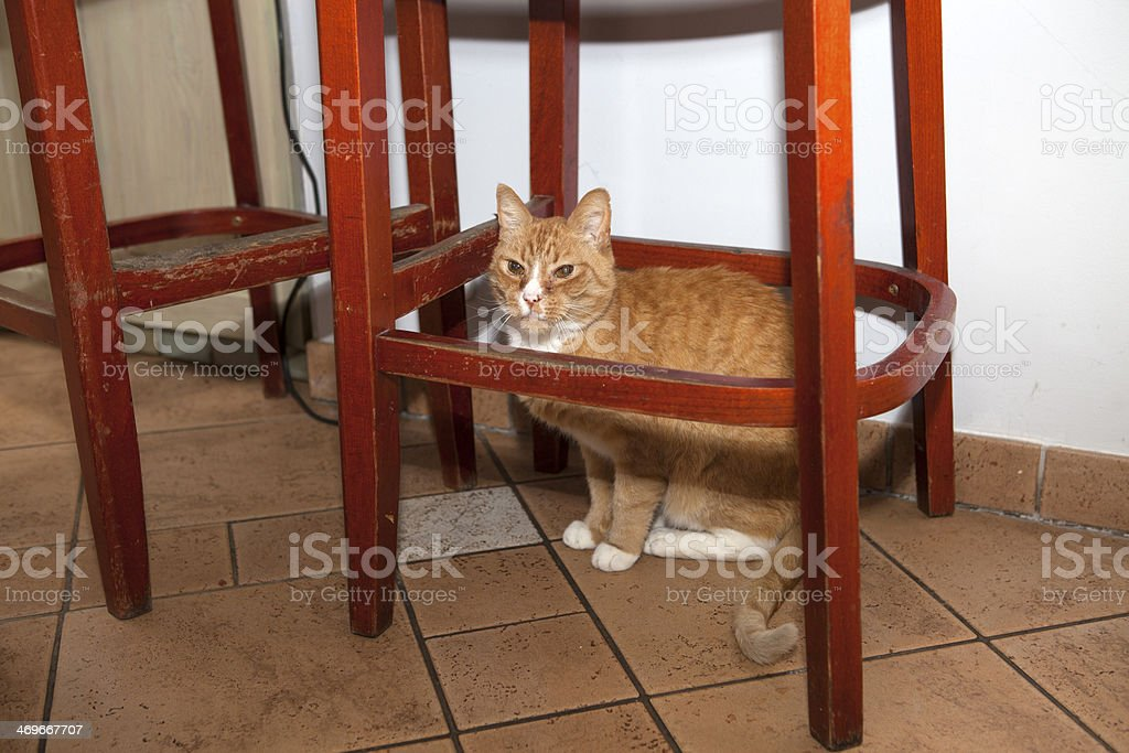 Red kitten is under the chair royalty-free stock photo