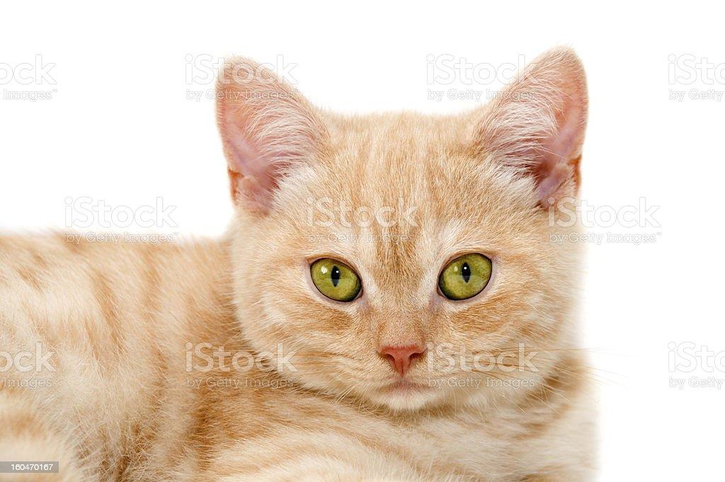 Red kitten royalty-free stock photo
