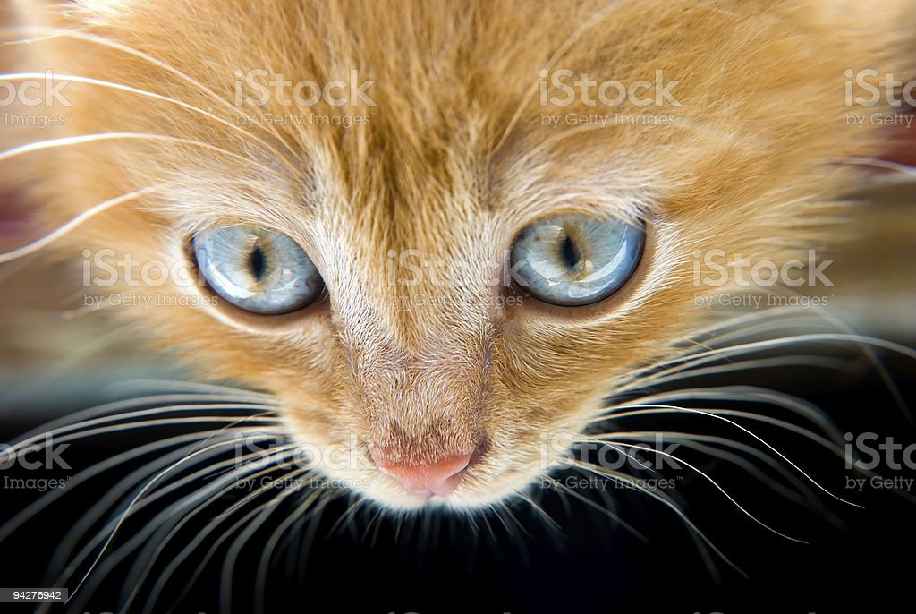 Red kitten royalty-free stock photo