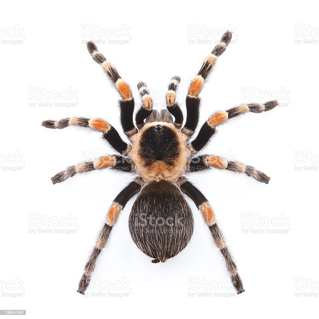 red knee tarantula stock photo