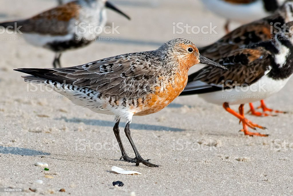 Red Knot stock photo