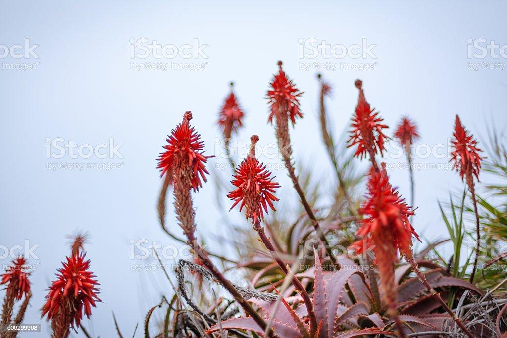 Red Krantz Aloe Flowers, Soft Focus Against An Overcast Sky royalty-free stock photo
