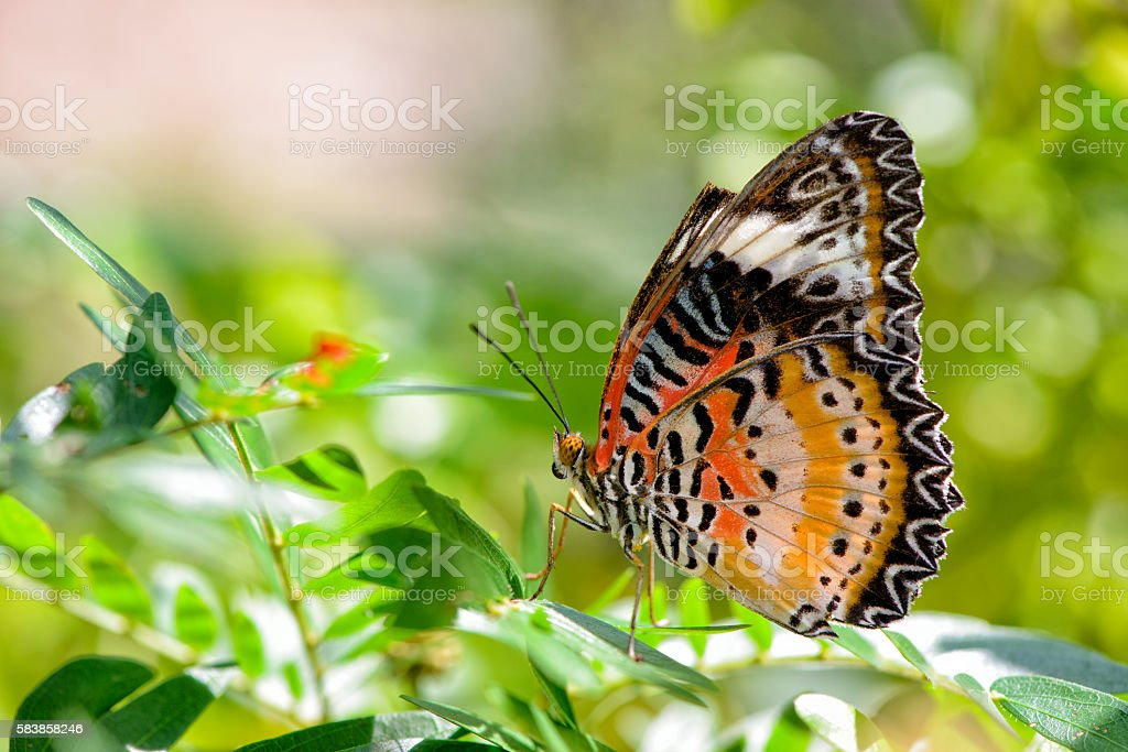 Red Lacewing Butterfly on a leaf stock photo