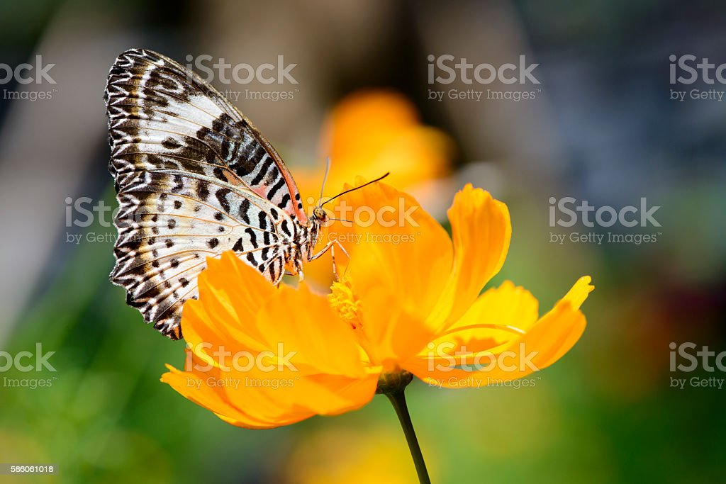 Red Lacewing Butterfly on a yellow cosmos stock photo