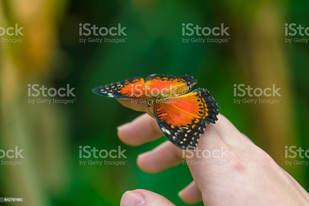 Red Lacewing butterfly (Cethosia biblis) stock photo