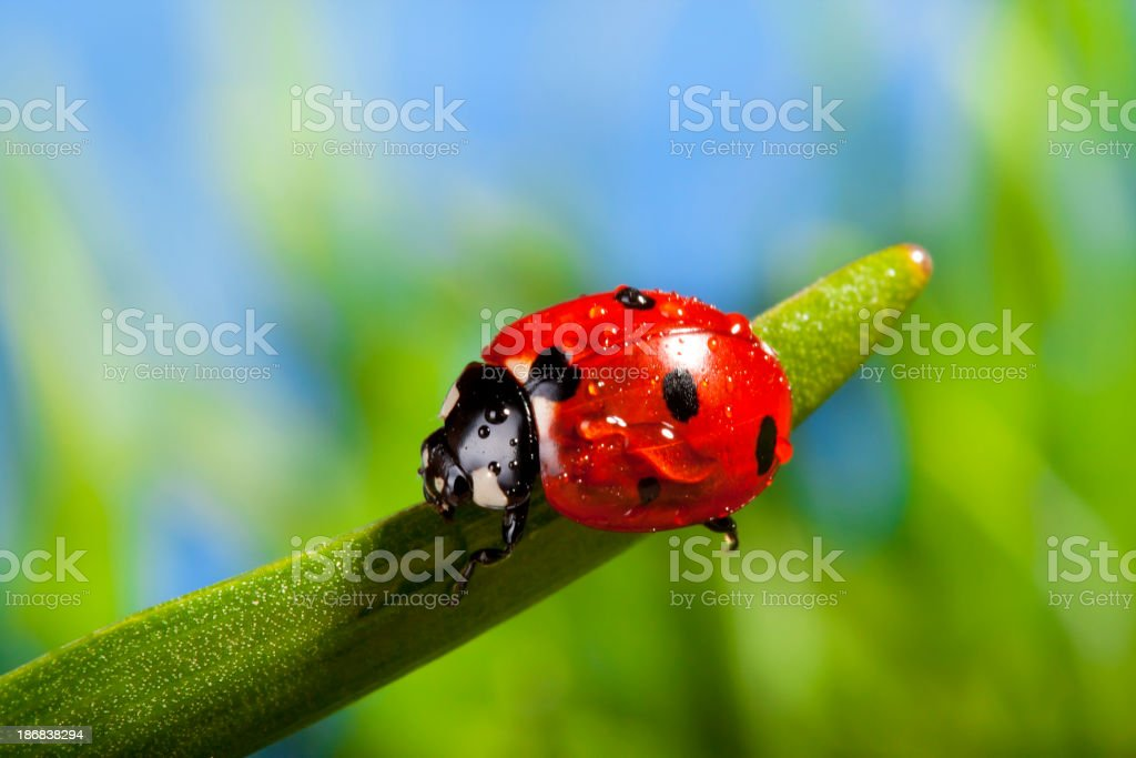 Red Ladybird on a grass royalty-free stock photo