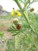 Red Ladybug Climbing on the Flower Buds